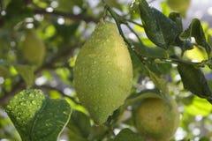 Dettaglio del limone sull'albero dopo pioggia Fotografia Stock Libera da Diritti