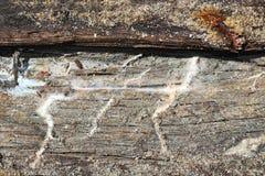 Dettaglio del micelio della putrefazione a secco fotografia stock libera da diritti