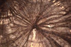 Dettaglio del micelio del fungo della cantina immagini stock libere da diritti