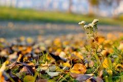 Dettaglio del millefoglie in autunno Immagini Stock