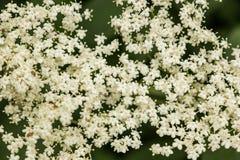Dettaglio del nigra più anziano del Sambucus del fiore fotografia stock libera da diritti