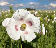 Dettaglio del papavero da oppio di fioritura, campo del papavero Immagini Stock Libere da Diritti