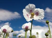 Dettaglio del papavero da oppio di fioritura, campo del papavero Immagine Stock Libera da Diritti