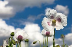 Dettaglio del papavero da oppio di fioritura, campo del papavero Fotografie Stock