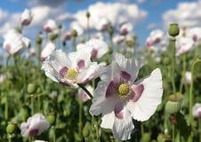 Dettaglio del papavero da oppio di fioritura, campo del papavero Fotografia Stock