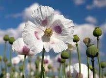 Dettaglio del papavero da oppio di fioritura, campo del papavero Immagine Stock