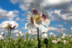 Dettaglio del papavero da oppio di fioritura, campo del papavero Fotografie Stock Libere da Diritti