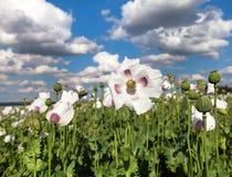 Dettaglio del papavero da oppio di fioritura, campo del papavero Fotografia Stock Libera da Diritti
