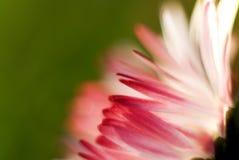Dettaglio del petalo della margherita Fotografia Stock