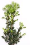 Dettaglio del pino Fotografia Stock