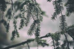 Dettaglio del pino con in orario invernale Immagine Stock