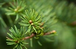 Dettaglio del pino di estate fotografia stock libera da diritti