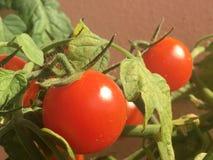 Dettaglio del pomodoro dello sherry fotografie stock libere da diritti