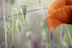 Dettaglio del prato del wildflower del papavero macro Immagine Stock Libera da Diritti