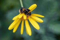 Dettaglio del primo piano degli api di un'ape del miele che raccoglie polline sul fiore in giardino immagini stock libere da diritti