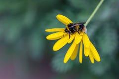 Dettaglio del primo piano degli api di un'ape del miele che raccoglie polline sul fiore in giardino immagine stock