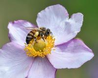 Dettaglio del primo piano degli api di un'ape del miele che raccoglie polline sul fiore in giardino fotografie stock libere da diritti