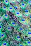 Dettaglio del primo piano delle piume di coda di un pavone Fotografia Stock