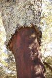 Dettaglio del raccolto della corteccia di albero della quercia da sughero in Spagna Immagini Stock