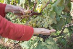 Dettaglio del raccolto fatto a mano dell'uva in vigna georgiana Immagine Stock Libera da Diritti
