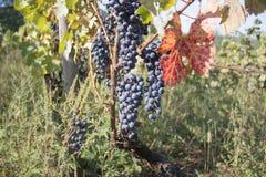 Dettaglio del raccolto fatto a mano dell'uva in vigna georgiana Fotografia Stock