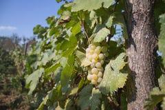 Dettaglio del raccolto fatto a mano dell'uva in vigna georgiana Fotografie Stock Libere da Diritti