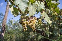 Dettaglio del raccolto fatto a mano dell'uva in vigna georgiana Fotografia Stock Libera da Diritti