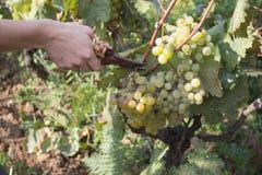Dettaglio del raccolto fatto a mano dell'uva in vigna georgiana Immagini Stock