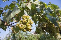 Dettaglio del raccolto fatto a mano dell'uva in vigna georgiana Uva matura che cresce ai giacimenti del vino Fondo della natura c Fotografie Stock