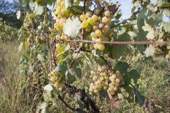 Dettaglio del raccolto fatto a mano dell'uva in vigna georgiana Uva matura che cresce ai giacimenti del vino Fondo della natura c Fotografia Stock Libera da Diritti