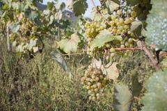 Dettaglio del raccolto fatto a mano dell'uva in vigna georgiana Uva matura con le foglie verdi Fondo della natura con la vigna Uv Fotografia Stock Libera da Diritti