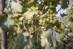 Dettaglio del raccolto fatto a mano dell'uva in vigna georgiana Uva matura con le foglie verdi Fondo della natura con la vigna Uv Fotografie Stock Libere da Diritti