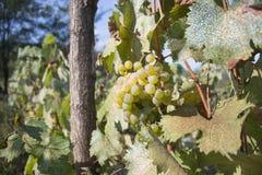 Dettaglio del raccolto fatto a mano dell'uva in vigna georgiana Uva matura con le foglie verdi Fondo della natura con la vigna Uv Immagine Stock