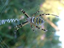 Dettaglio del ragno della vespa Fotografie Stock