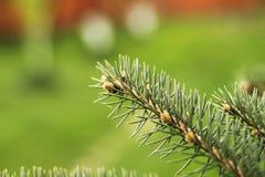 Dettaglio del ramo attillato fresco in foresta Fotografia Stock Libera da Diritti