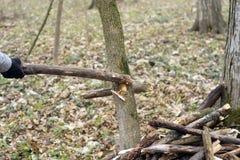 Dettaglio del ramo rotto per distruzione a della tempesta Immagini Stock