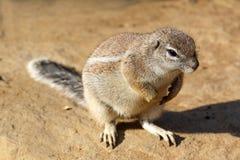 Dettaglio del roditore selvaggio sveglio che si siede sul grano con la sua ombra Fotografia Stock