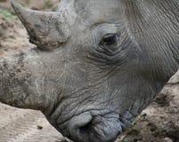 Dettaglio del ` s di rinoceronte nella savanna Fotografia Stock Libera da Diritti