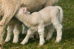 Dettaglio dell'agnello del lattante fotografie stock libere da diritti