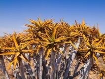 Dettaglio dell'albero dell'aloe (fremito) Fotografia Stock Libera da Diritti