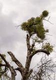 Dettaglio dell'albero infestato vischio Fotografie Stock Libere da Diritti
