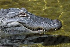Dettaglio dell'alligatore americano Fotografie Stock Libere da Diritti