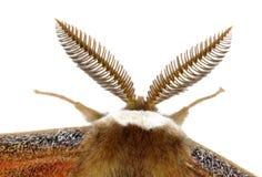 Dettaglio dell'antenna di Silkmoth Fotografie Stock