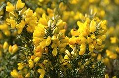 Dettaglio dell'arbusto di fioritura giallo sugli altopiani scozzesi immagine stock libera da diritti