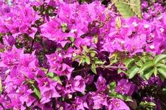 Dettaglio dell'arbusto in fiore Immagini Stock Libere da Diritti