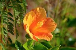 Dettaglio dell'ibisco di fioritura Fotografia Stock Libera da Diritti