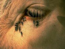 Dettaglio dell'occhio bianco della mucca con molte mosche fastidiose Le mosche si siedono o si imbattono nell'occhio della mucca  Fotografie Stock Libere da Diritti