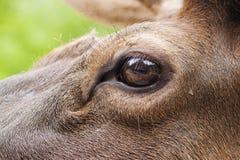 Dettaglio dell'occhio dei wapiti Fotografia Stock Libera da Diritti