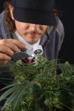 Dettaglio dell'uomo che controlla la cola della cannabis & x28; St della marijuana di Thousand Oaks fotografia stock libera da diritti