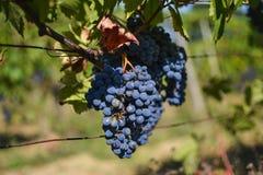 Dettaglio dell'uva del vino rosso immagini stock
